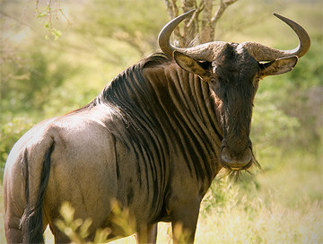 Hunting trips: Blue wildebeest