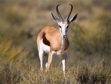 Hunting trips: Common springbok