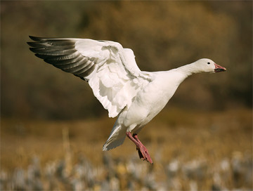 Hunting trips: Goose / Geese