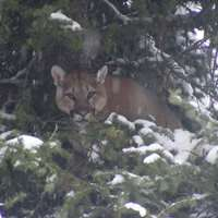 Cancellation 5 Day Mountain Lion Hunt